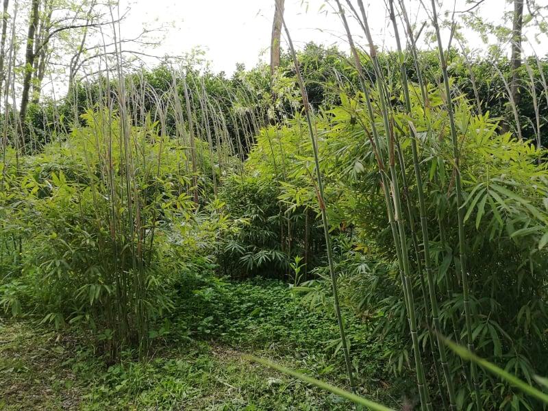 coltivazione bambu